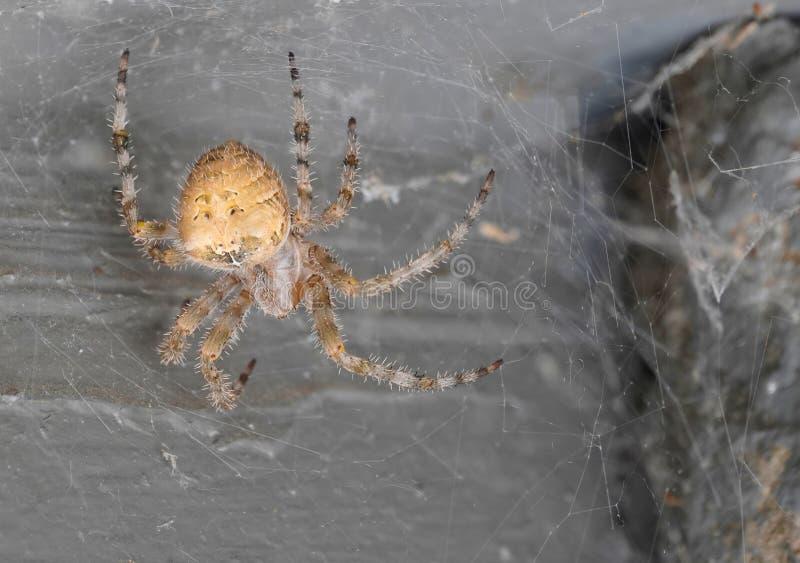 En Orb Spider som just håller på att försvinna arkivfoto