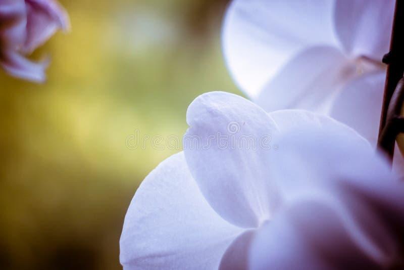 En orkidé på mitt köksfönster På en sommarmorgon Försök fånga en makrobild av den royaltyfri foto