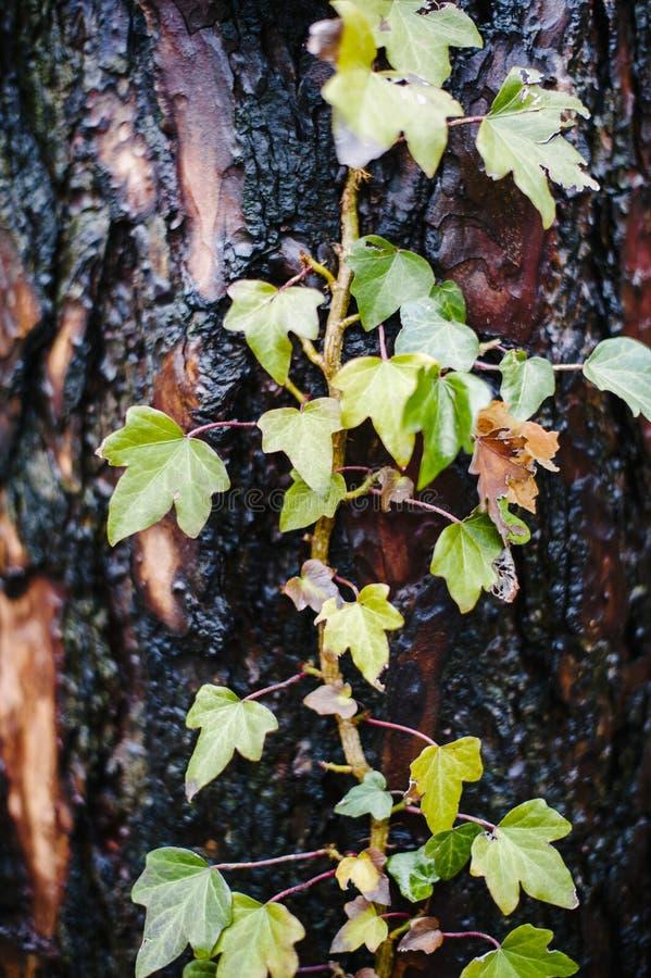 En otoño la hiedra con las hojas coloreadas sube en tronco de árbol mojado fotografía de archivo libre de regalías