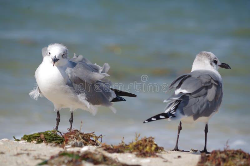 En ovårdad seagull arkivbild