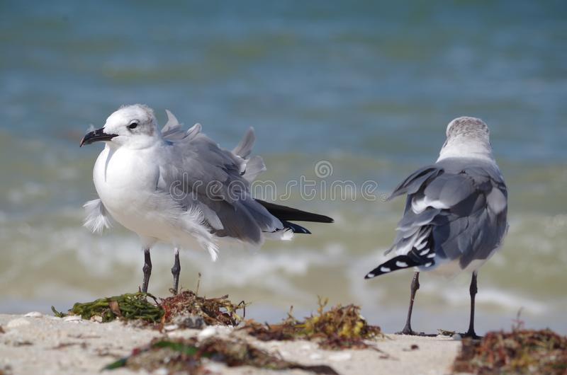 En ovårdad seagull royaltyfri bild