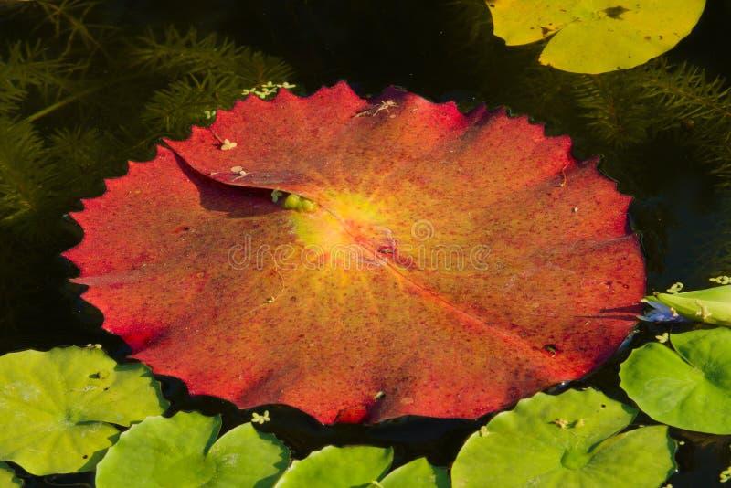 En ovanlig sikt av ett stort rött lotusblommablad som omges av gemensamma gröna risfält royaltyfri fotografi