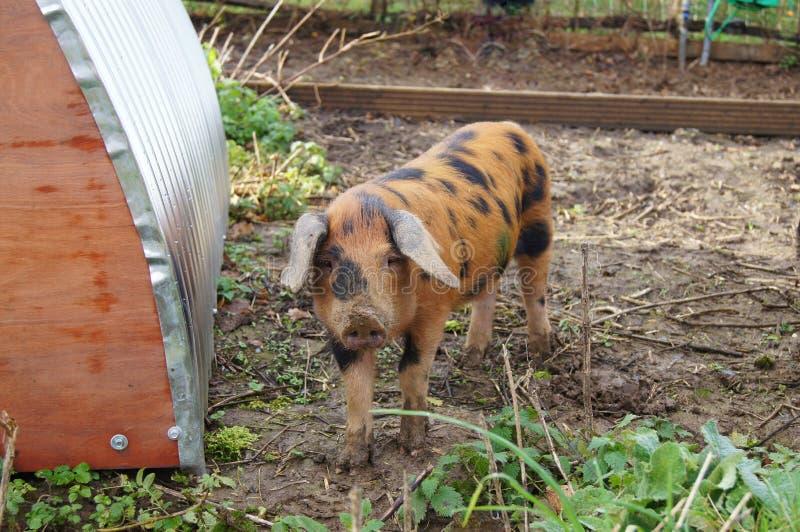 En Oxford sandig och svart Pig royaltyfri foto