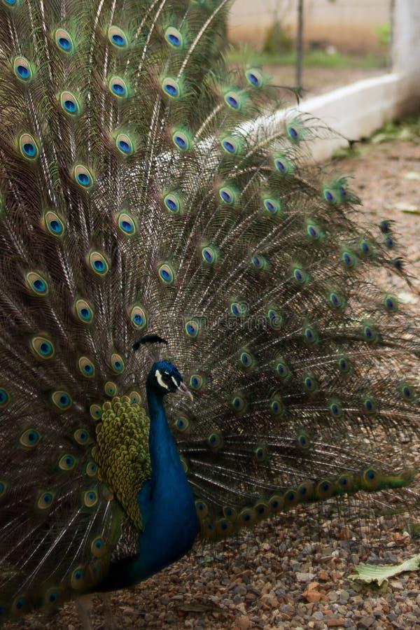 En påfågel som visar hans kulöra fjädrar arkivfoto
