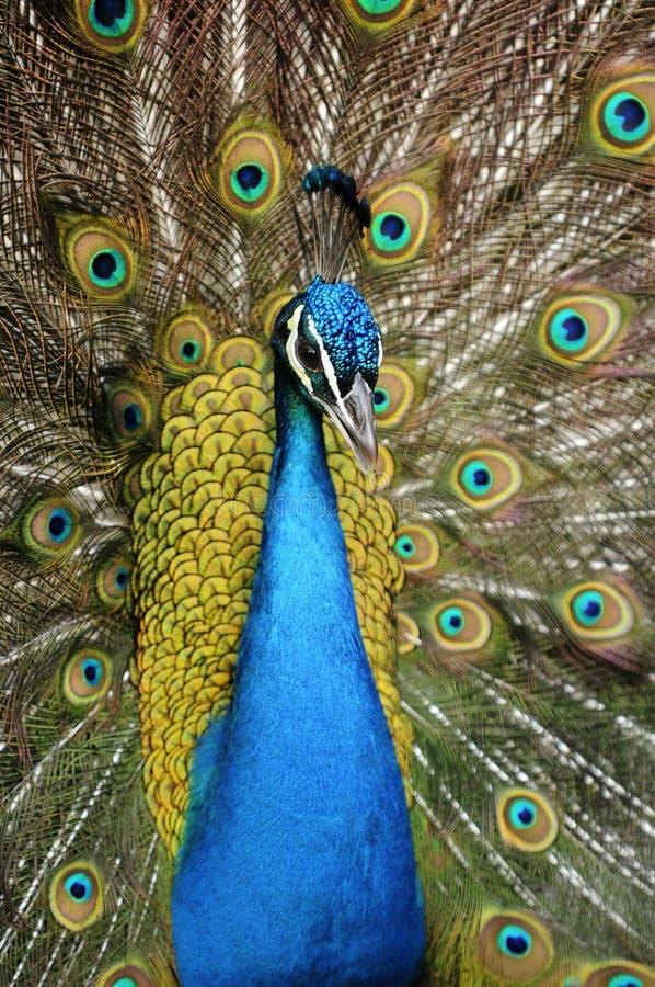 En påfågel veckla upp dess vingar arkivbild
