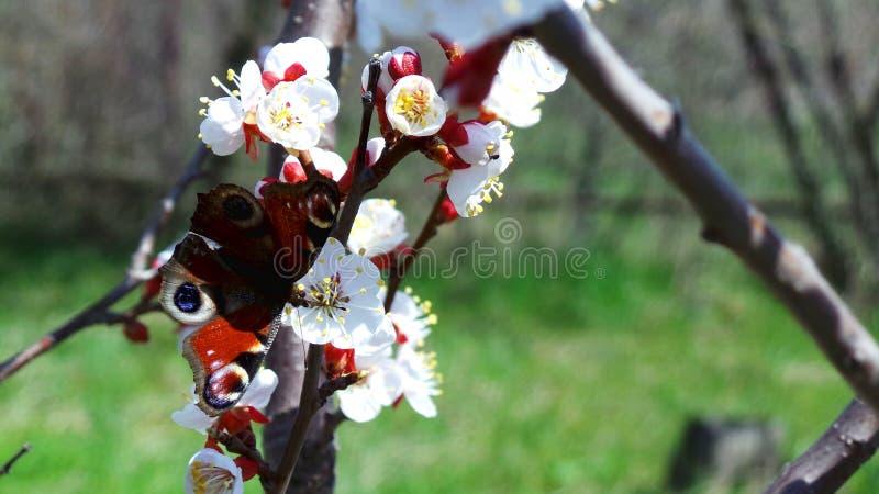 En påfågelfjäril dricker nektar på ett blomma aprikosträd arkivbilder