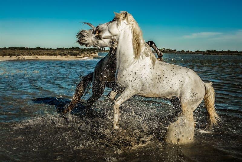 En paarden die grootbrengen bijten stock fotografie