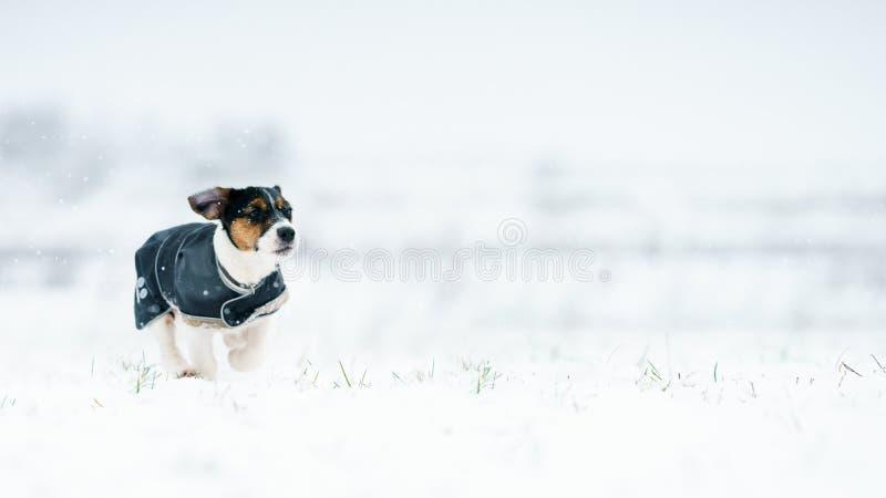 En packe av hundkapplöpning silar den russell terriern jagar på en vinteräng Allt i snön arkivbilder