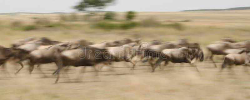 En panorera bild av gnuspring till och med savannahen arkivbilder