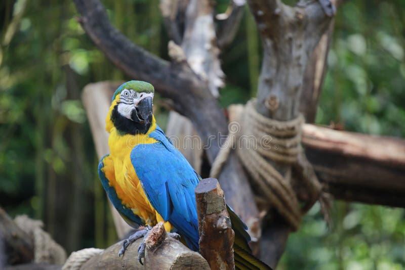 En papegoja är en fågel med många fjädrar och härlig förälskelse Typiska klättrafåglar som tå-formas fot, två tår framåtriktat oc arkivfoton