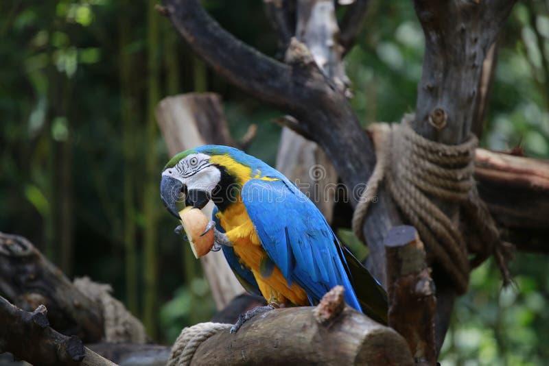 En papegoja är en fågel med många fjädrar och härlig förälskelse Typiska klättrafåglar som tå-formas fot, två tår framåtriktat oc royaltyfria bilder
