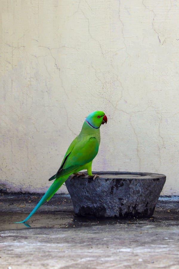 En papegoja kom att dricka vatten på mitt hus arkivbild