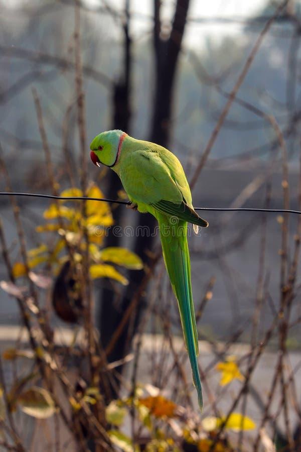 En papegoja som spelar på en tråd arkivfoton
