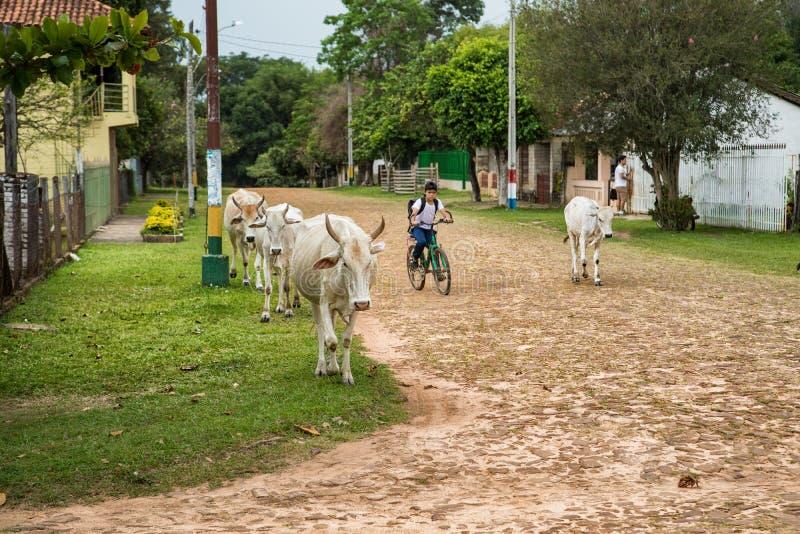 En paraguayansk pojke kommer från skola och kör hans kor hem arkivfoton