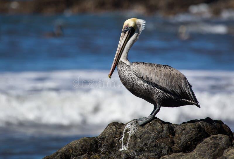En pelikan som sätta sig på en vagga royaltyfria foton
