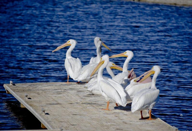 En pelikanresumé arkivbild