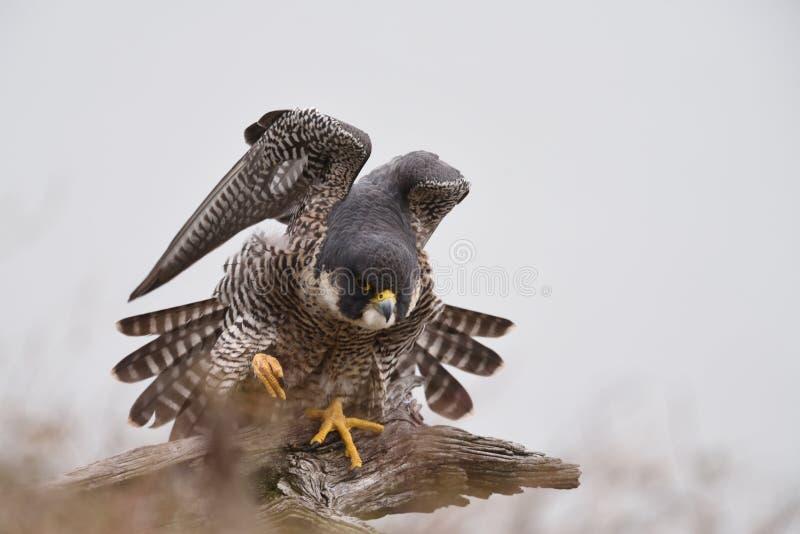 En Peregrine Falcon som sätta sig på en död lem fotografering för bildbyråer