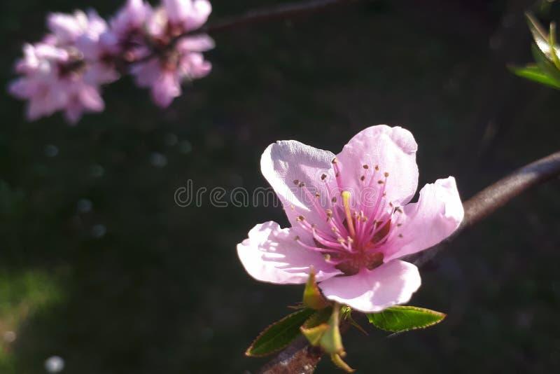 En persikablomning i tr?dg?rd arkivbild