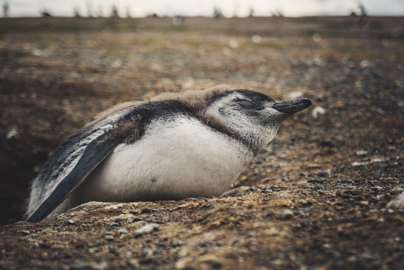 En pingvin? i Sydamerika royaltyfria foton