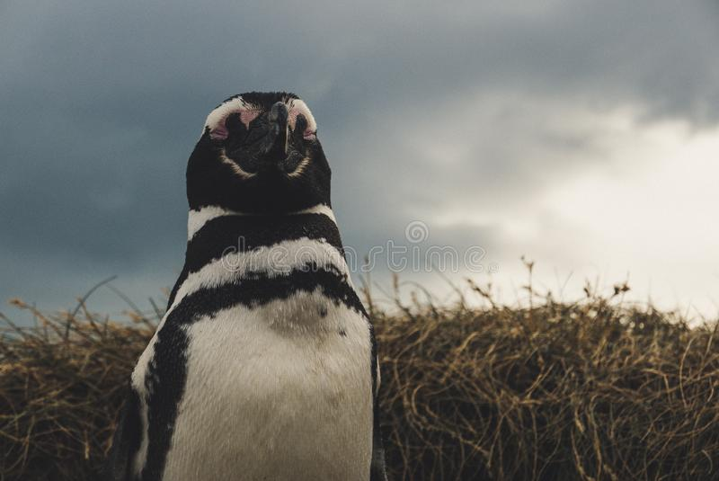 En pingvin? i Sydamerika royaltyfri foto