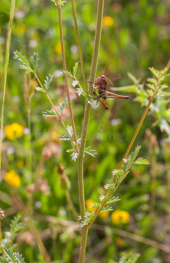 En Platycleis gräshoppa på den vertikala växtstammen royaltyfri fotografi