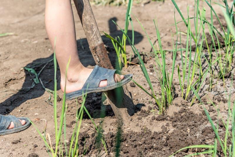 En pojke gräver jordningen med en skyffel för att bearbeta jordbruks- skördar i bygden arkivfoton