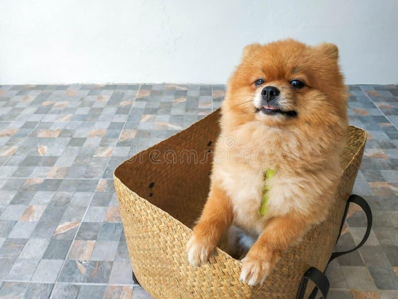 En Pomeranian valp står i en ask och försöker till ut ur träasken arkivbilder