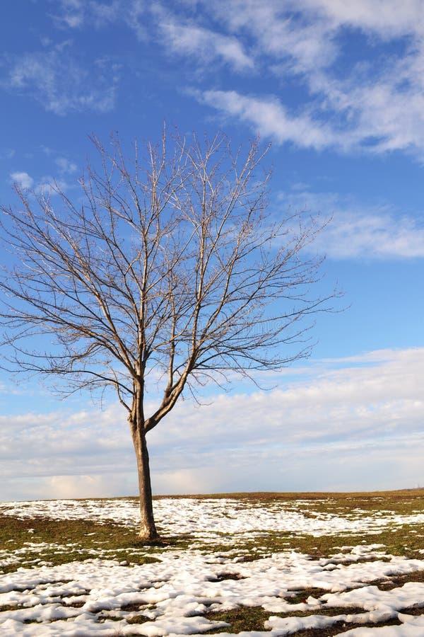 En potrait av det döda lönnträdet i snöig vinter arkivbilder