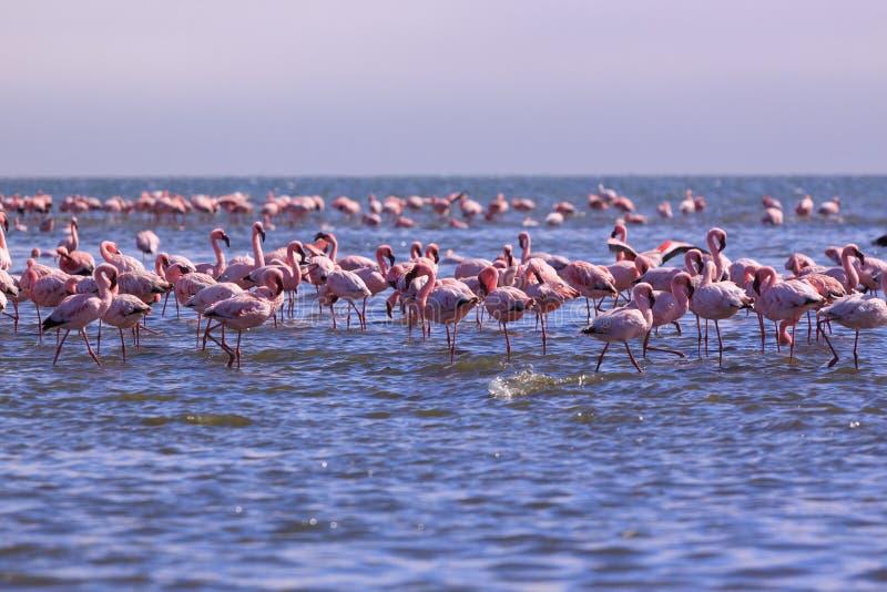 En prakt av flamingo i Swakopmund, Namibia royaltyfri foto