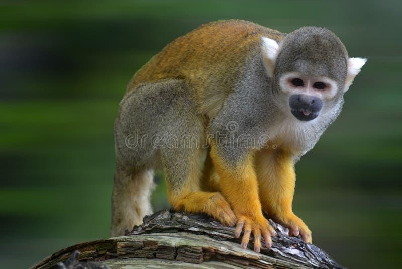 En primat tar poserar, en full arg blicknedflyttning royaltyfri foto