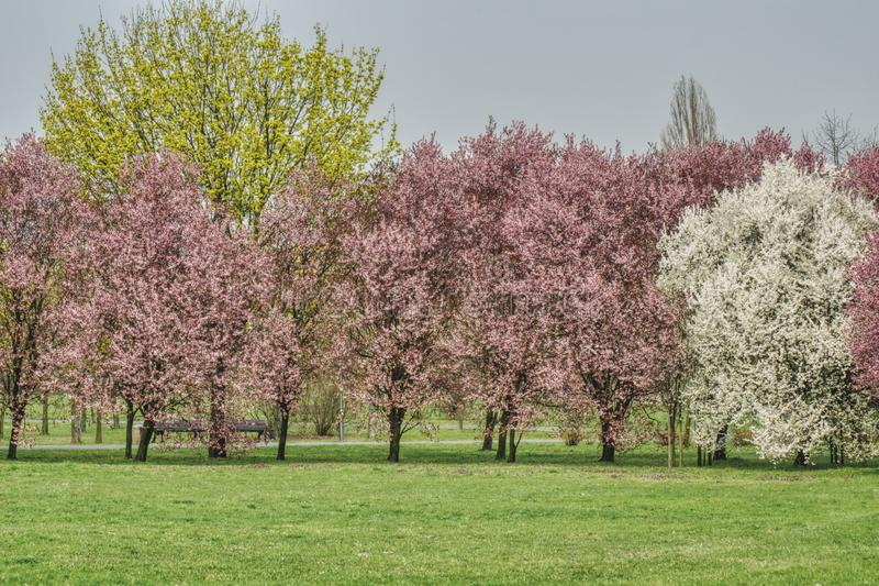 En primavera, árboles colorido florecientes en el parque imagen de archivo