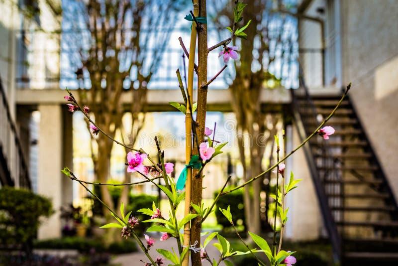En primavera el árbol de melocotón está floreciendo en una comunidad imagen de archivo libre de regalías