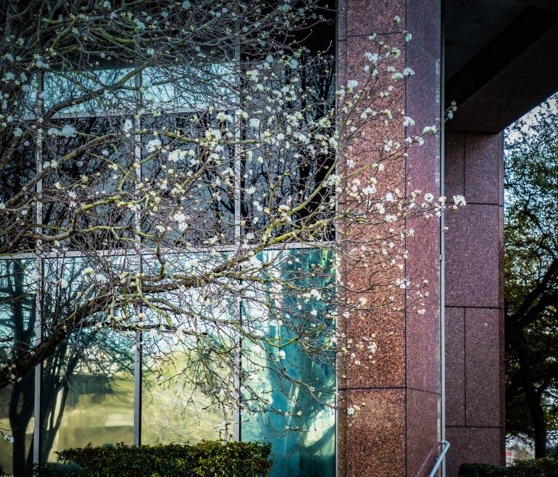 En primavera los perales están floreciendo al lado de un edificio foto de archivo libre de regalías
