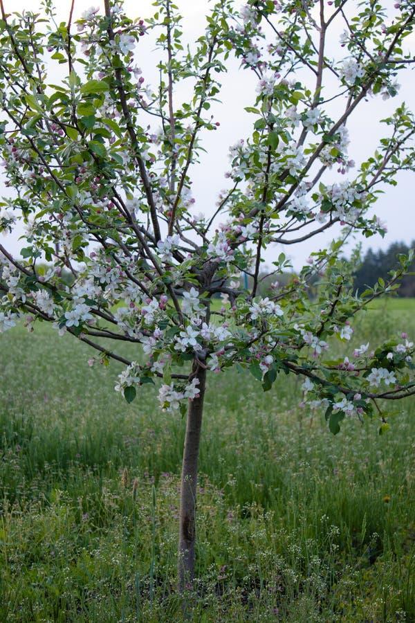 En primavera, un manzano floreci? en el jard?n Manzano Con las flores imagen de archivo libre de regalías