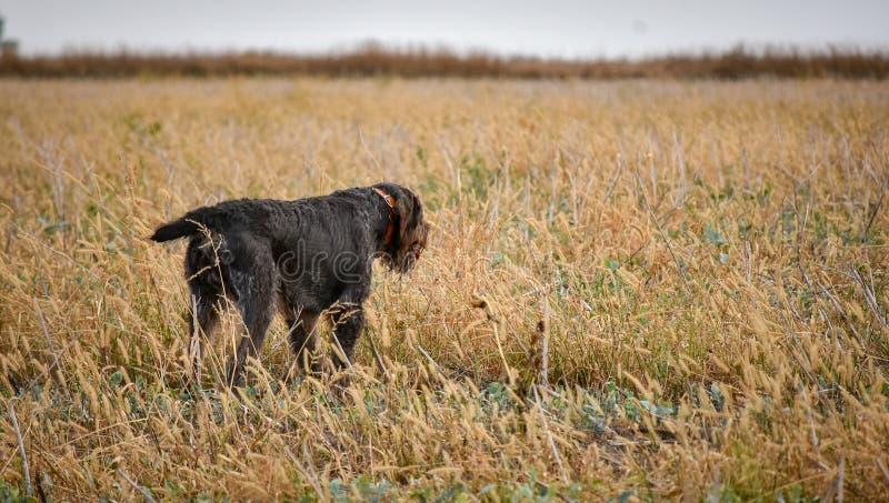 En process av jakt under jaktsäsong, process av vakteljakt, drathaar tysk wirehaired pekarehund royaltyfri foto