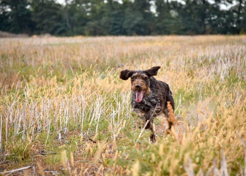 En process av jakt under jaktsäsong, process av vakteljakt, drathaar tysk wirehaired pekarehund royaltyfri bild