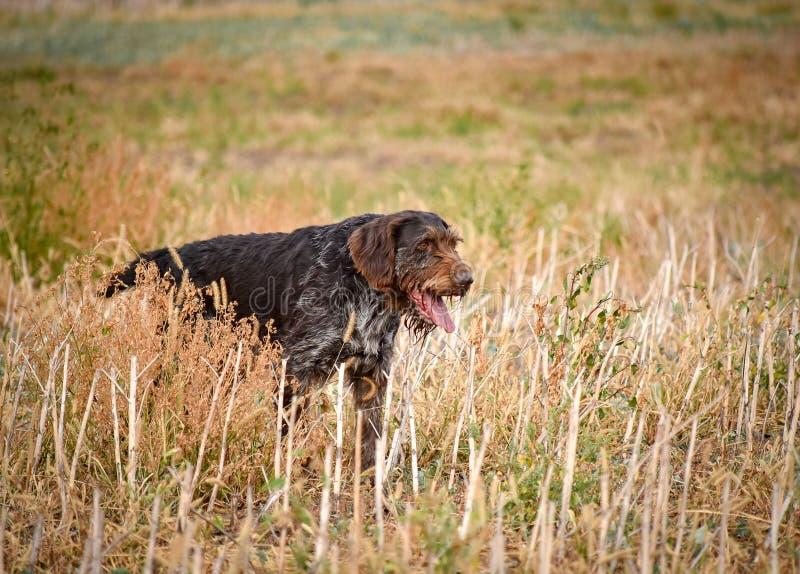 En process av jakt under jaktsäsong, process av vakteljakt, drathaar tysk wirehaired pekarehund royaltyfria foton