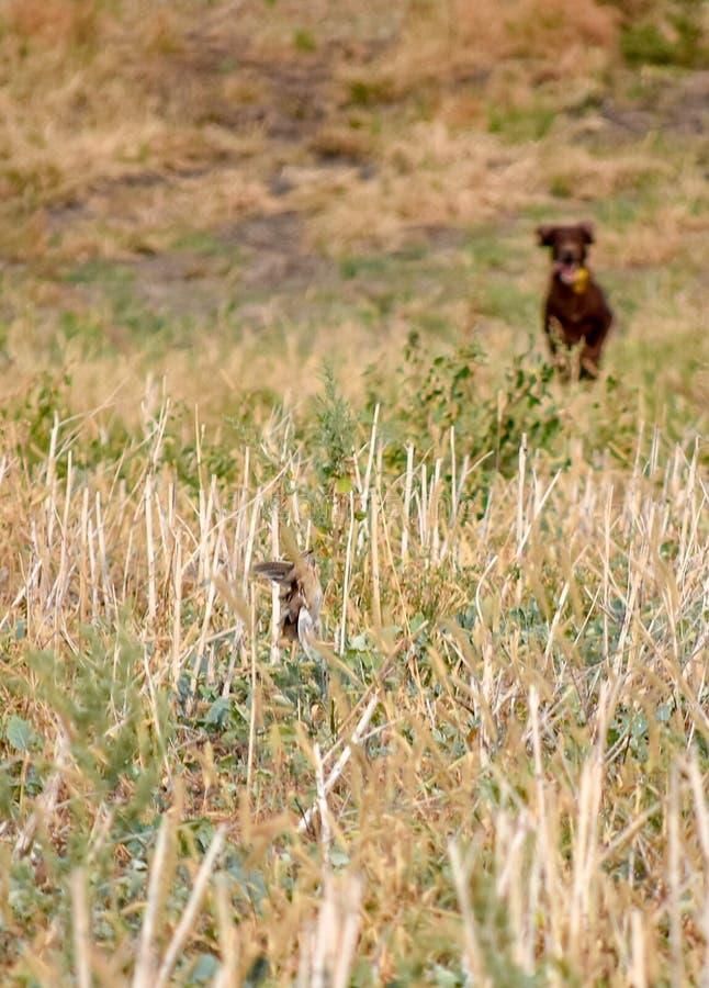 En process av jakt under jaktsäsong, process av vakteljakt, drathaar tysk wirehaired pekarehund arkivfoton