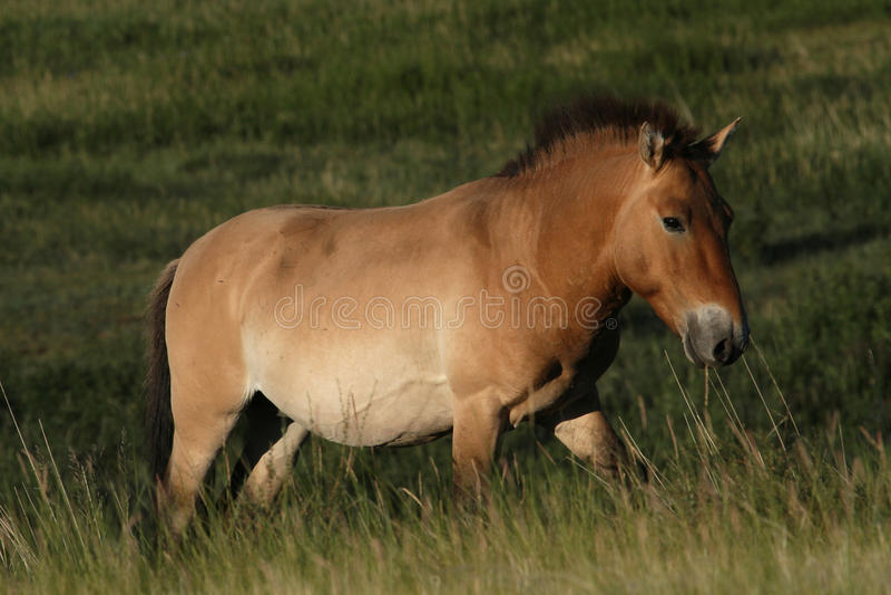 En Przewalski häst royaltyfria bilder