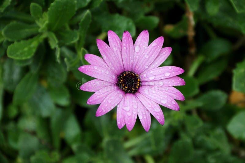 En purpurfärgad blomma efter regn arkivfoto