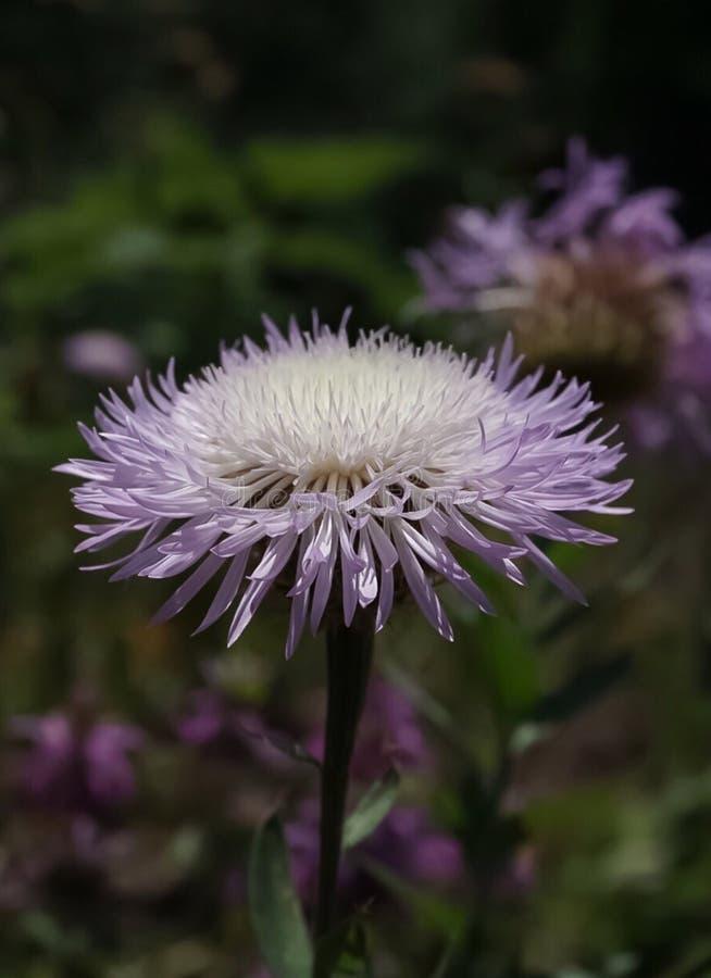 En purpurfärgad vildblomma för tistel för stjärna för korgblomma eller amerikan royaltyfri fotografi