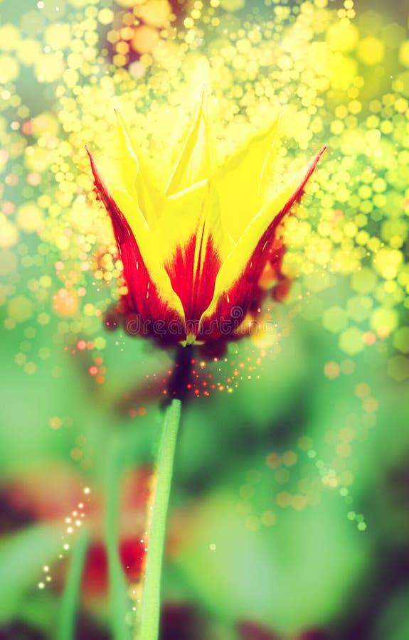 En röd-guling tulpan, skimrande bakgrund, skönhetfilter royaltyfria foton
