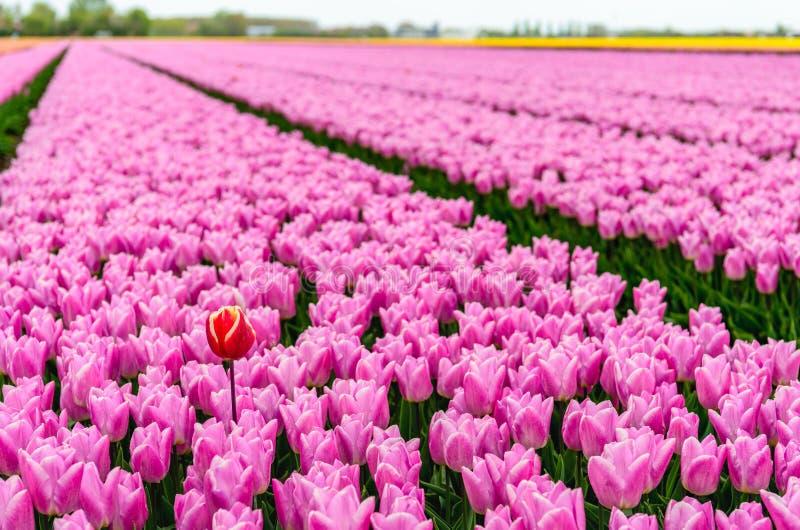 En röd-guling tulpan sticker fram ovanför många rosa blomningtul royaltyfria bilder