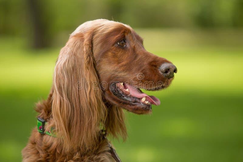 En röd hund för irländsk setter arkivfoton