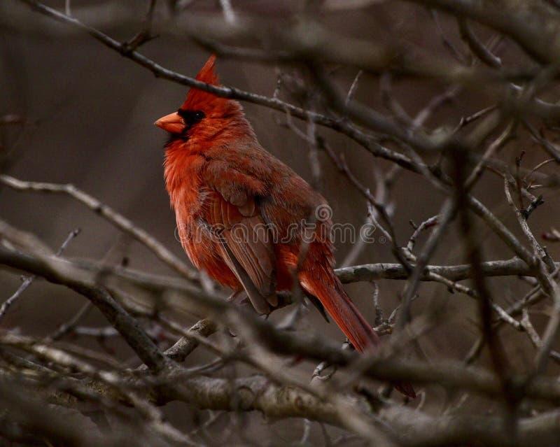 En röd kardinal royaltyfri bild