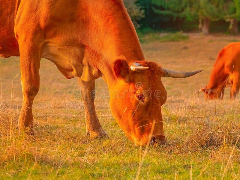 En röd ko knaprar gräs i beta royaltyfri bild