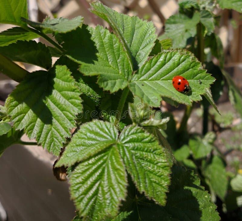 En röd nyckelpiga på en jordgubbeväxt arkivfoton