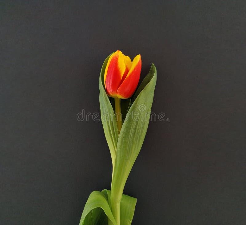 En röd och gul tulpan på den svarta bakgrunden royaltyfri foto