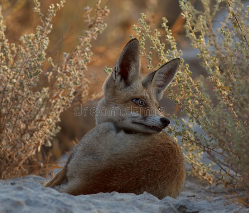 En röd räv i naturen royaltyfria bilder