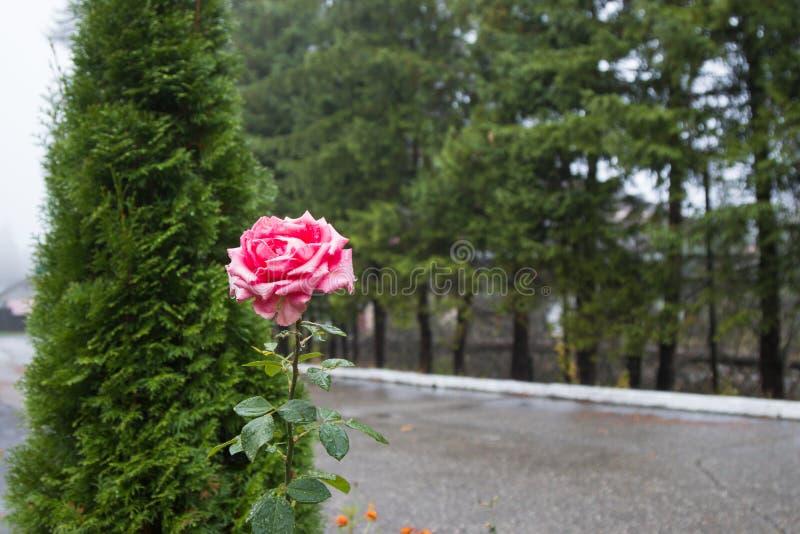 En röd ros blommar på en regnig morgon mot en bakgrund av gröna träd fotografering för bildbyråer